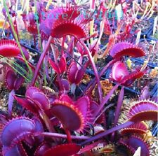 50 Purple VENUS FLY TRAP Seed Dionaea Muscipula CARNIVOROUS Flytrap Bug Eating