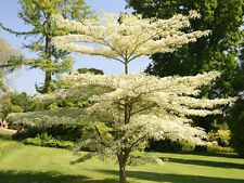 Wedding Cake Tree / Cornus controversa 'Variegata', 1-2ft grown peat free in pot