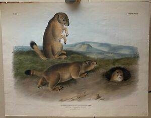 Antique JOHN JAMES AUDUBON 'Prairie Dog Marmot Squirrel' Bowen Lithograph