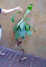 Planta carnivora.Nepenthes MIRANDA. GIGANTE. ENVIO 24/48H