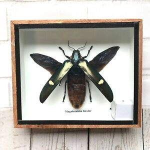 Giant Jewel Beetle Megaloxantha Bicolor Insect Bug Display Case Box Spread