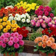 100Pc Zinnia Flower Seeds Elegance 30 Kinds Beauty Annual Plants for Home Garden