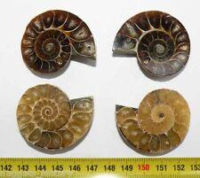 lot de 2 Ammonites de Madagascar Sciées et polies ( 033 )
