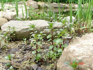 10 Teichpflanzen  für jeden Miniteich   Hechtkraut  Minze Fieberklee