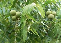 Schwarznuss Baum Samen -Juglans Nigra-  Mengenauswahl  -Forstliches Saatgut-