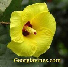 Hibiscus tiliaceus Sea Hibiscus 100 seeds