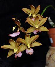 Cycnoches warcewiczii x Mormodes escobariana very nice plants great flowers!!!