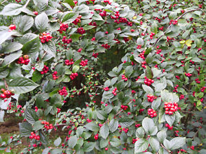 Cotoneaster aff. ignescens (CLD 612) - Potted Shrub Plant in 9cm Pot