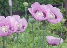 Mohn Schlafmohn Papaver Somniferum – violett altrosa – ca. 1000 frische Samen