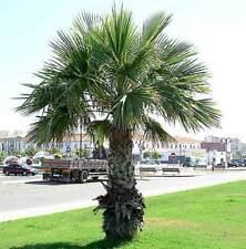 Washingtonia Robusta - 25 Seeds - Calafornia Thread Palm