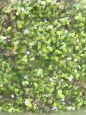 Live Duckweed- 1/2 A Cup, Tank Grown! Good for ponds, animal feed, etc