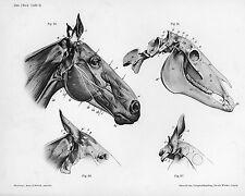 Vintage Medical Horse Head Skull Anatomy Illustration Real Canvas Art Print New