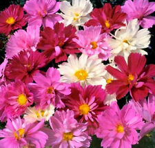 Pink Cosmos Seeds, Pysche Mix, Heirloom Cosmos, Non-Gmo  Draws Butterflies 50ct