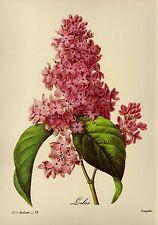 Vintage Romantic Botanical Print Pink Lilac Flower Redoute Art pjr 1671