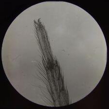 Glass Magic Lantern Slide LEG OF SPIDER C1910 MICROSCOPE PHOTO INSECT