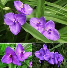 10 pcs Spiderwort (Tradescantia Ohiensis) flower seeds