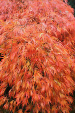 Orangeola Japanese Maple Lace Leaf Acer Palmatum Disectum Tree approx 2 ft Tall
