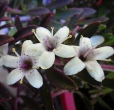 PURPLE MYOPORUM parvifolium native groundcover flowering plant in 140mm pot