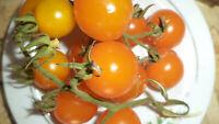 Sunviva Cocktail Tomaten Samen neue Ernte 2020  bio Anbau Nr.161