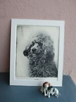 vintage bookplate  etching  of  Poodle dog by Malcolm Nicholson 1935