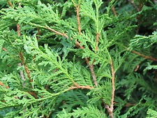 1 000 + seeds Eastern white cedar tree ,100% Naturel, NO GMO