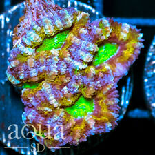 New listing Asd - 014 Alien Eyes Acan - Wysiwyg - Aqua Sd Live Coral Frag