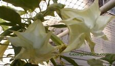Brugmansia Kyle's Giant White Angel Trumpet 10 seeds Free Ship