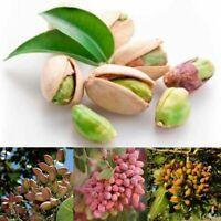 Nussbaum Pistazien Samen Pistacia Rare Obstbaum Samen Tropische Pflanze Nus U0G5