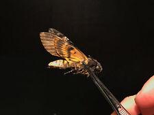 Entomologie Papillon Insecte Papillon Sphinx téte de mort Acherontia atropos!!