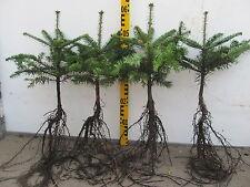 Abies nordmanniana Tlugi 5j 1 St Nordmanntanne Tanne  Weihnachtsbaum Christbaum