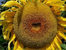 25 American Giant Hybrid Sunflower Seeds 17Ft Tall Make Space For A Huge Head!