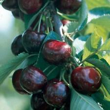 Sweet & Tasty Black Cherry Tree 1-2' Tall Potted Plant, Please Check our Store