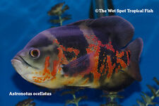 "(3) 2"" Tiger Oscar TR Astronotus ocellatus Live Freshwater Tropical Cichlid Fish"