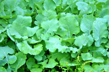 15G/30G Seeds Fertilizer Green Winter Kale Cabbage Excellent Heavy Duty Cold