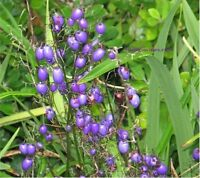 Native Blue Flax Lily Seeds - Tough Plant Ornamental Frost & Drought Tolerant