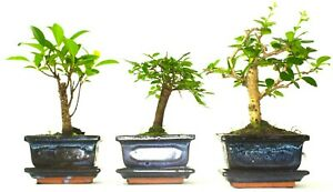 Bonsai tree mix / collection - 2 or 3 trees including ceramic pots and drip tray