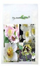 Helleborus - 2018 Mixed SEED - 20 Seeds - Yellow White Pink Red & Black Parents