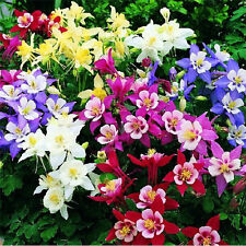 Aquilegia / Granny Bonnets Plant - Seeds - MIXED as seen
