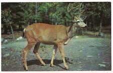 TEN POINT BUCK Summer Season Deer Pointer Postcard Vintage UNUSED Free Ship