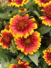 Gaillardia Blanket Flower Pkt of 50 Fresh 2020 seed