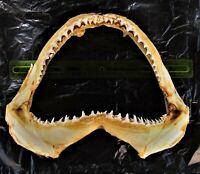 "Large Blacktip Shark Jaws Jaw Carcharhinus limbatus 12""X9"" FAST USA #44"