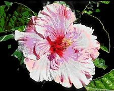 """Hibiscus rosa-sinensis """"Yvonne Mc Kinless"""" x 1 small plant"""
