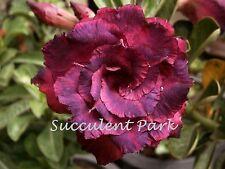 "Rosy Adenium Obesum (Desert Rose) ""Mongkol"" grafted plant"
