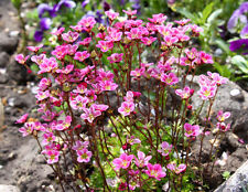 10 ROSE ROBE SAXIFRAGA Saxifraga Arendsii Mossy Rockfoil Flower Seeds *Comb S/H