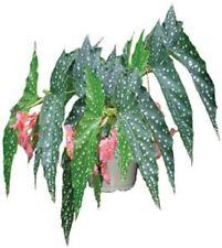 Angelwing Begonia