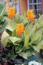 CANNA TROPICANNA GOLD INDIAN SHOT PLANT UNUSUAL AMAZING TROPICAL CONTAINER