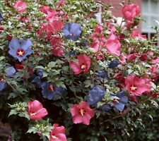 Rose of Sharon Mix Lot of 10 Perennial Rare Flower Seeds Ready to Plant Now