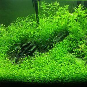 Aquarium Grassamen Wasserpflanze.2x1000Stück.Für Süswasser u.Feuchtterrarien C V