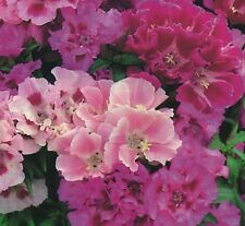 Godetia Crown Double mixed - 3000 seeds - Annual