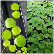 Live Floating Plant Combo: Amazon Frogbit + Water Spangles (Salvinia Minima)